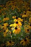 Flores de Susan Black-eyed imagen de archivo libre de regalías