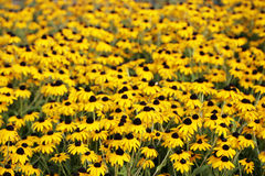 Flores de Susan de los ojos morados imagenes de archivo