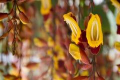Flores de suspensão do mysorensis do Thunbergia Imagem de Stock Royalty Free