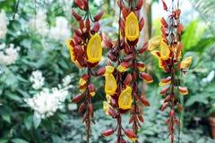 Flores de suspensão do mysorensis do thunbergia Fotografia de Stock