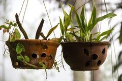 Flores de suspensão em uns potenciômetros fora Imagem de Stock