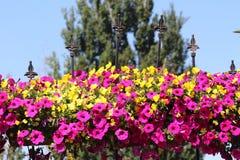 Flores de suspensão na cerca do ferro forjado Fotografia de Stock Royalty Free