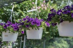 Flores de suspensão roxas Fotos de Stock