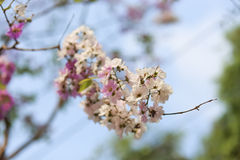 Flores de Tabak Fotografía de archivo libre de regalías