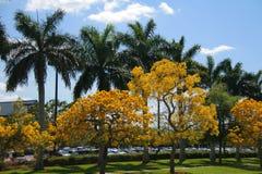 Flores de Tabebuia en la acera Imagen de archivo libre de regalías