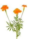 Flores de Tagetes Fotos de archivo
