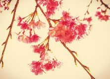 Flores de Tailandia Sakura en fondo beige Foto de archivo libre de regalías