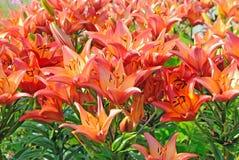 Flores de Tiger Lilium en jardín Imagenes de archivo