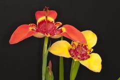 Flores de Tigridia Imágenes de archivo libres de regalías