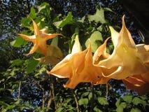 Flores de trombeta do anjo Imagem de Stock Royalty Free