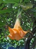 Flores de trombeta do anjo Fotografia de Stock