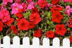 Flores de trompeta rojas Foto de archivo libre de regalías