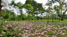 Flores de trompeta rosadas que caen en el parque Fotos de archivo