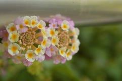 Flores de Turquia imagem de stock