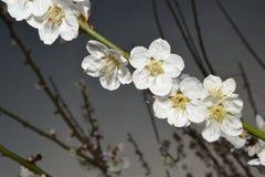 Flores de um abricó Imagens de Stock