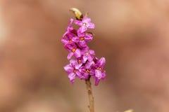 Flores de um daphne de fevereiro Imagens de Stock Royalty Free