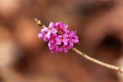Flores de um daphne de fevereiro Imagens de Stock