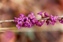 Flores de um daphne de fevereiro Fotos de Stock Royalty Free