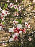 Flores de um fim de florescência da árvore de maçã acima Imagem de Stock Royalty Free