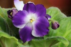 Flores de um ionantha do Saintpaulia dois-coloridas Foto de Stock Royalty Free