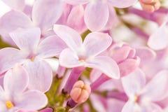 Flores de um lilac Fotos de Stock