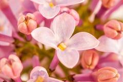 Flores de um lilac Fotos de Stock Royalty Free