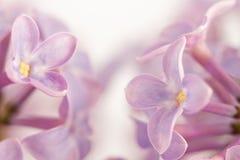 Flores de um lilac Imagens de Stock