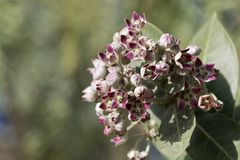 Flores de um procera de Calotropis do arbusto da maçã de Sodom fotos de stock royalty free