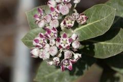 Flores de um procera de Calotropis do arbusto da maçã de Sodom fotos de stock