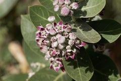 Flores de um procera de Calotropis do arbusto da maçã de Sodom imagem de stock