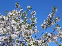 Flores de uma árvore de cereja Imagens de Stock Royalty Free
