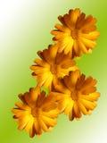 Flores de uma camomila com pétalas amarelas Imagem de Stock