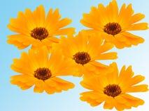 Flores de uma camomila com pétalas amarelas Fotos de Stock Royalty Free