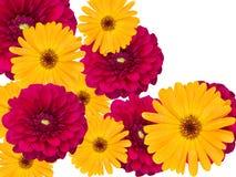 Flores de uma camomila e de dálias de um jardim Fotografia de Stock
