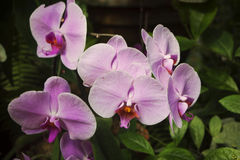 Flores de uma orquídea cor-de-rosa, close-up foto de stock