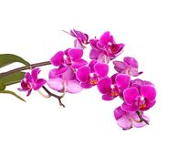 Flores de uma orquídea roxa do Phalaenopsis isolada Imagens de Stock Royalty Free