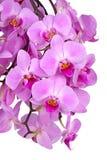 Flores de uma orquídea roxa do Phalaenopsis isolada Foto de Stock