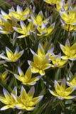 Flores de uma tulipa amarela selvagem na grama Fotos de Stock Royalty Free