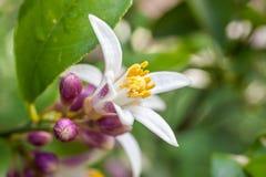 Flores de un árbol de limón entre las hojas Cierre para arriba Foto de archivo libre de regalías