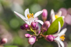 Flores de un árbol de limón entre las hojas Cierre para arriba Imagen de archivo libre de regalías