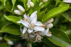 Flores de un árbol de mandarina entre las hojas Cierre para arriba Foto de archivo