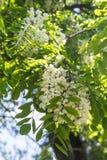 Flores de un acacia blanco Fotos de archivo