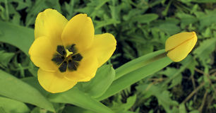 Flores de un amarillo del pión con el primer de las hojas Imagen de archivo libre de regalías
