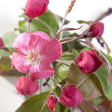 Flores de un Apple-árbol del niedzwetzkyana Dieck del Malus de Nedzvetsky aislado en el fondo blanco Fotografía de archivo libre de regalías