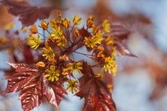 Flores de un arce rojo Fotos de archivo