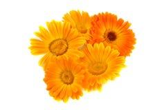 Flores de un calendula imagenes de archivo