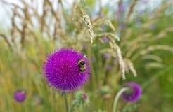 Flores de un cardo en un campo Fotografía de archivo libre de regalías