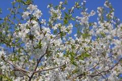 Flores de un cerezo Fotos de archivo