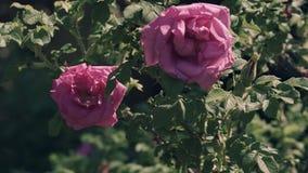 Flores de un dogrose, tiempo ventoso, perro color de rosa metrajes