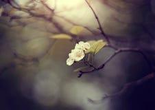Flores de un espino en la rama semi-secada-para arriba Imagenes de archivo